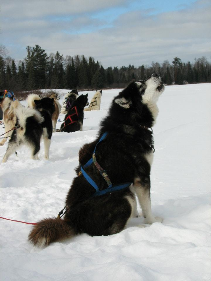 Sled Dog Sam howling